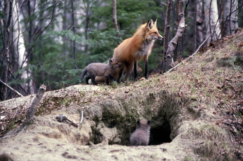 Nature Study 2 Red Fox Imagine Childhood Magic