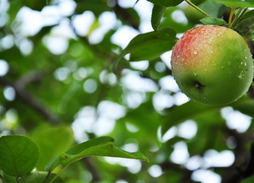 1.apple