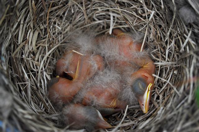 Robins2