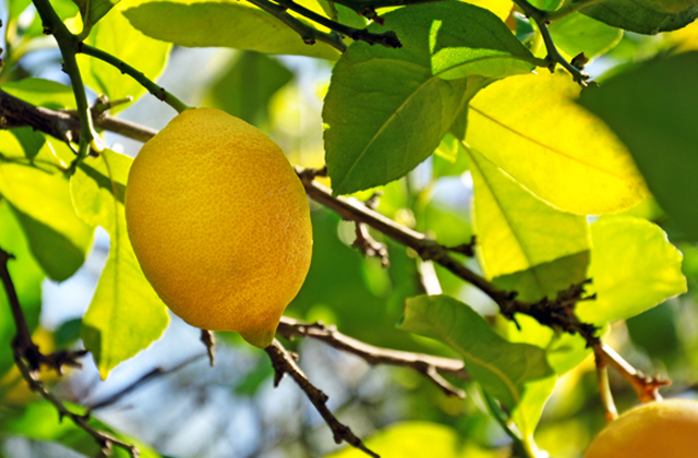 Lemon.tree.2