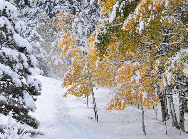 Forest.snow.aspen