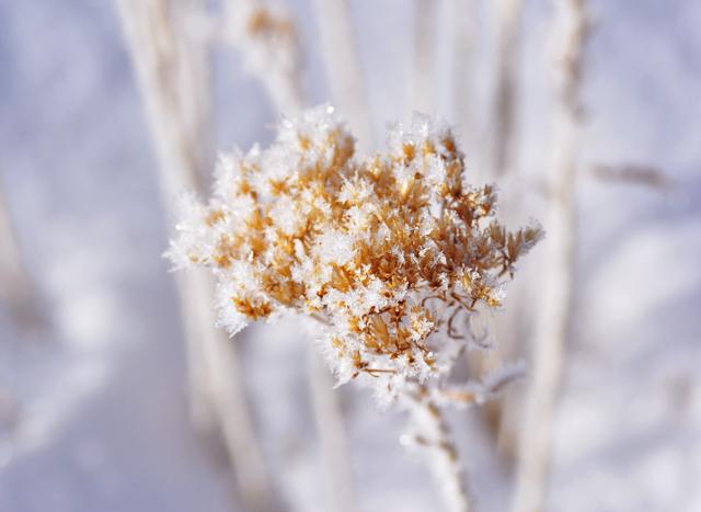 Ice.flower.close