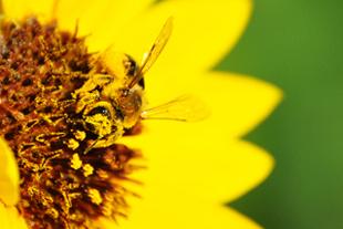Yellow.bee